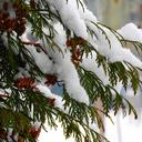 Image of a fir tree with snow
